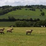 Sheep on Elchin Hill