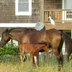  Wild horses of Corolla