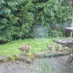 pheasants outside, view from the window