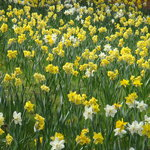 Daffodil Hill
