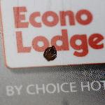 Adult Bed Bug that I managed to kill