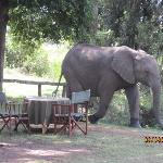 Elephants visit during lunch!