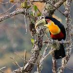 regular visitor, sometimes at close distance: Toucan
