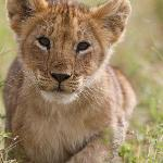 lion cub from marsh pride