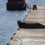 Seal basking on the dock