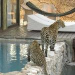 Leopard and her two cubs drinking at room #5 plunge pool