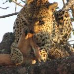 leopard eating an impala in a tree