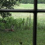  deer outside window