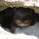  Baby Rock Dassie at the penguin colony