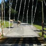 Trying to get past the cows while leaving Panorama Berggasthof Hotel, Garmisch-Partenkirchen, Ge
