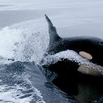 Orca chasing the boat