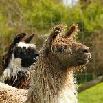 Marge and Homer, the llamas
