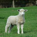 A Lamb in a farmer's field close by