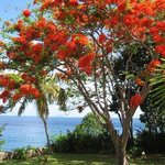 flamboyant tree in the front yard!