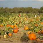 Bishop's Pumpkin Farm