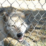 Wolves liked to 'interact' with us