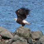  Eagle taking off across the lake from Bryden Manor