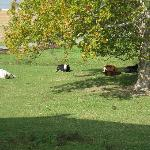 The cows that can be seen from the Witmer Room