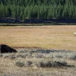 Bison and Bull