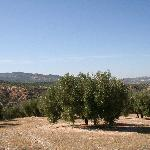 Hill with olivetrees behind Casa Rosa