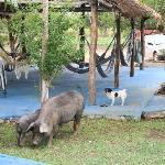  The cute dog and the local pigs