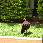 A bush turkey roaming free
