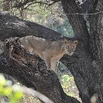 Lake Mamyara - Tree Climbing Lion