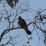  Australian Hobby just outside the Inn!