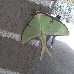 Lunar moth on the side of the building. They also have humming birds all over too
