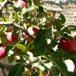 APPLES IN THE GARDEN