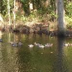  The mallards swimming in the side yard on the pond