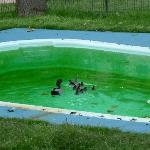  ducks living on the green pool