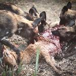 a pack of around 20dogs  killing