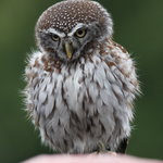 One of the gorgeous little owls that you can stroke