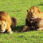 My lions that our expert driver/guide Charles tracked so diligently