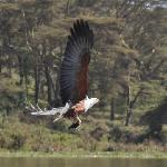  feeding a Fishing Eagle at Lake Naivasha