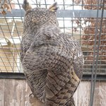 Great Horned Owl at Roswell Zoo