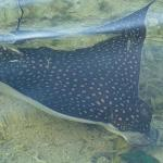 Eagle Ray from the beach