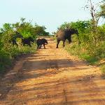 Ellies crossing road in game reserve