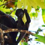 Howler monkeys live in trees by the pool