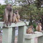  Baboons picnik too