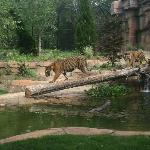 New Tiger Exhibit