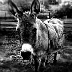  wild donkeys@Castoro!