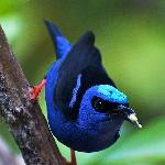 Local Red legged honeycreeper