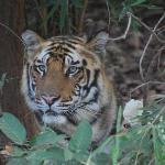 First tiger spotted male cub