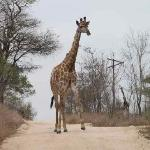 Giraffe blocking our way!