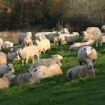Ashridge flock of sheep