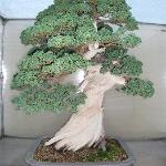 another one of the Bonsai