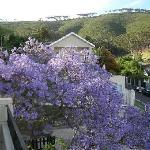  Jacaranda tree from our balcony