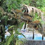 Monkeys hanging out near the pool